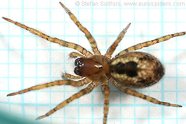 Window lace-weaver Amaurobius fenestralis