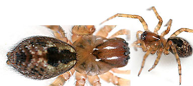 Anyphaenidae spider photos