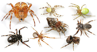 Araneidae spider photos