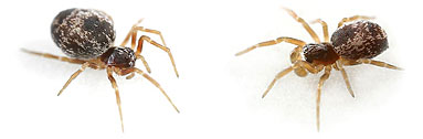 Dictynidae spider photos