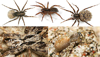 Lycosidae spider photos