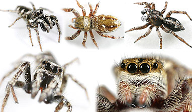 Salticidae spider photos