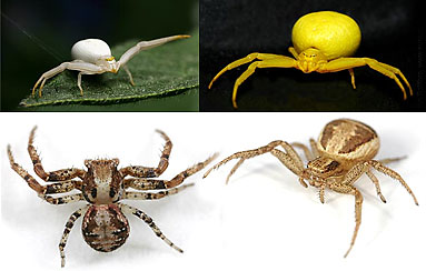 Thomisidae spider photos