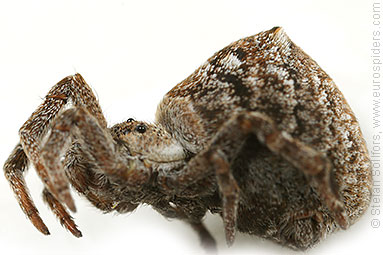 Triangle spider Hyptiotes paradoxus