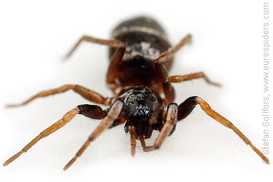 Glossy ant-spider Micaria pulicaria