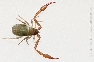 Pseudoscorpion Chelifer cancroides