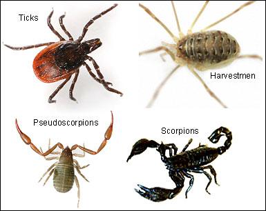 Spider Relatives Arachnids At Eurospiders Com