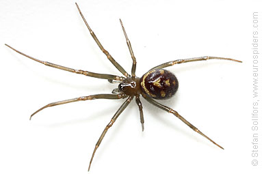Steatoda grossa photos and info