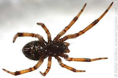 False widow Steatoda paykulliana