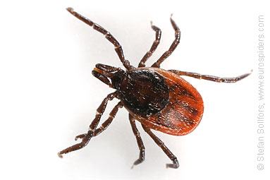 Tick Ixodes ricinus close up
