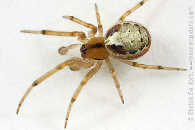 Red-sided sector spider Zygiella atrica